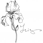 Vector Iris flower isolated on white Black and white engraved ink art with 'iris' lettering