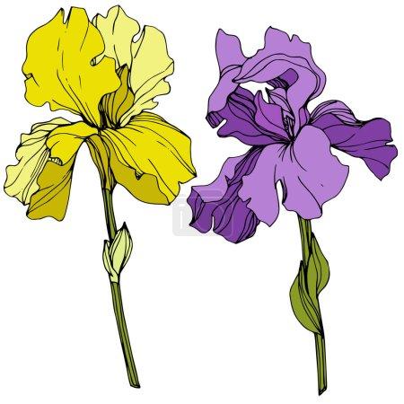 Illustration pour Vector jaunes et violets Iris isolés sur blanc. Art d'encre gravé - image libre de droit