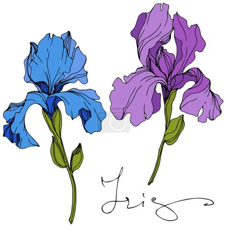 Vector blue and purple irises isolated on white. Engraved ink art with 'iris' lettering