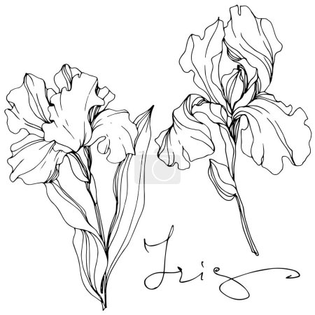 Illustration for Vector Irises isolated on white. Black and white engraved ink art with 'iris' lettering - Royalty Free Image
