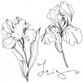 Vector Irises isolated on white Black and white engraved ink art with 'iris' lettering