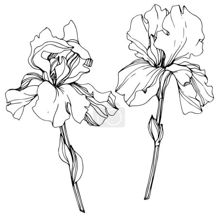 Illustration for Vector Irises isolated on white. Black and white engraved ink art - Royalty Free Image