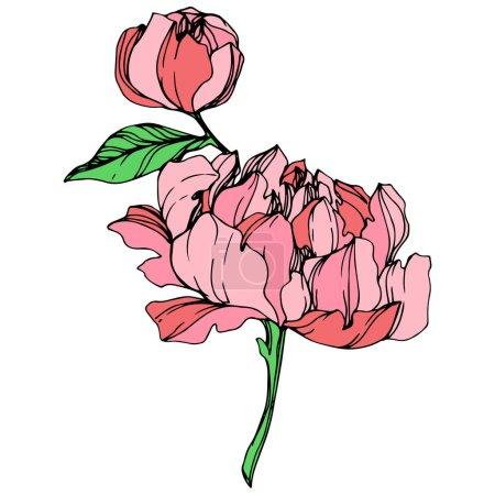 Illustration pour Pivoines roses de vecteur isolé avec des feuilles vertes sur fond blanc. Art d'encre gravé. - image libre de droit