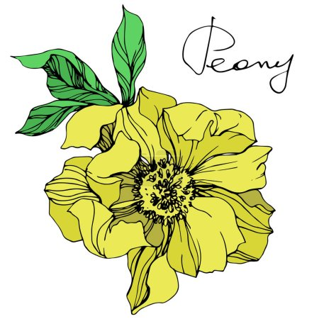 Illustration for Vector yellow isolated peony flower with green leaves and handwritten lettering on white background. Engraved ink art. - Royalty Free Image