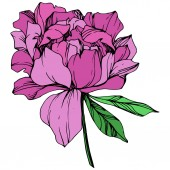 Vector purple isolated peony flower with green leaves on white background Engraved ink art
