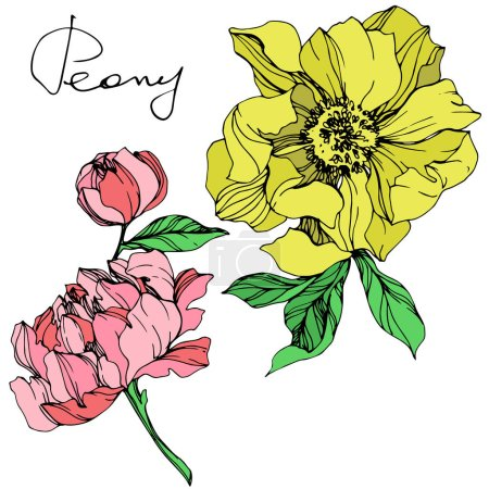 Illustration for Vector isolated pink and yellow peonies with green leaves and handwritten peony lettering on white background. Engraved ink art. - Royalty Free Image