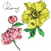 Vector isolated pink and yellow peonies with green leaves and handwritten peony lettering on white background Engraved ink art