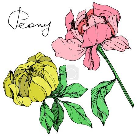 Ilustración de Vector aislado peonías rosas y amarillos con hojas de color verde y letras manuscritas peonía sobre fondo blanco. Tinta grabado arte - Imagen libre de derechos
