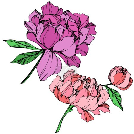 Vector isolated purple and pink peonies with green leaves and handwritten peony lettering on white background. Engraved ink art.