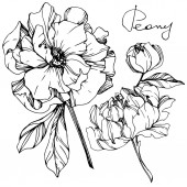 Vector isolated monochrome peony flowers sketch and handwritten lettering on white background Engraved ink art
