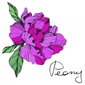 Vector isolated purple peony flower with green leaves and handwritten lettering on white background Engraved ink art