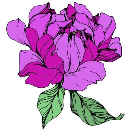 Illustration for Vector isolated purple peony flower with green leaves on white background. Engraved ink art. - Royalty Free Image