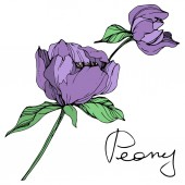 Vector isolated purple peonies with green leaves and handwritten peony lettering on white background Engraved ink art