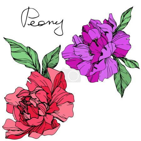 Illustration for Vector isolated living coral and purple peonies with green leaves and handwritten peony lettering on white background. Engraved ink art. - Royalty Free Image
