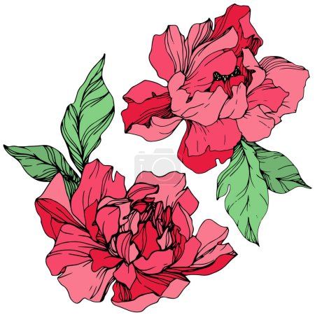 Illustration for Vector isolated living coral peonies with green leaves on white background. Engraved ink art. - Royalty Free Image