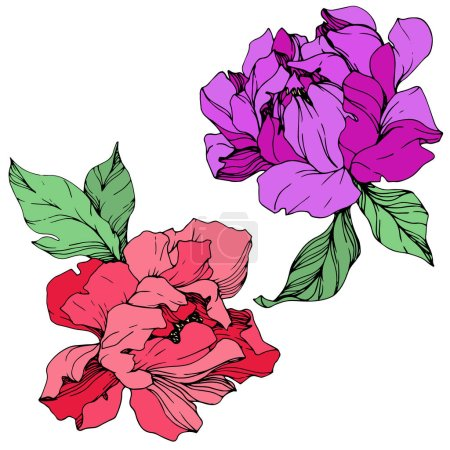 Illustration for Vector isolated living coral and purple peonies with green leaves on white background. Engraved ink art. - Royalty Free Image