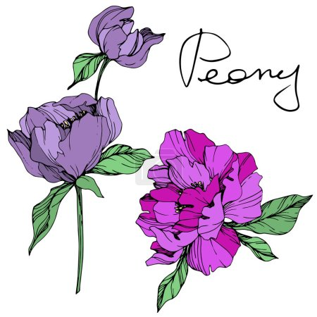 Illustration for Vector isolated purple peonies with green leaves and handwritten peony lettering on white background. Engraved ink art. - Royalty Free Image
