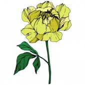 Vector isolated yellow peony flower with green leaves on white background Engraved ink art