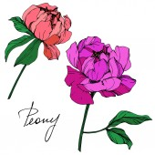 Vector isolated living coral and purple peony flowers with green leaves and handwritten lettering on white background Engraved ink art
