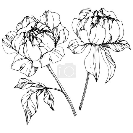 Illustration for Vector isolated monochrome peony flowers sketch on white background. Engraved ink art. - Royalty Free Image