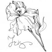 Vector monochrome isolated iris flower illustration on white background