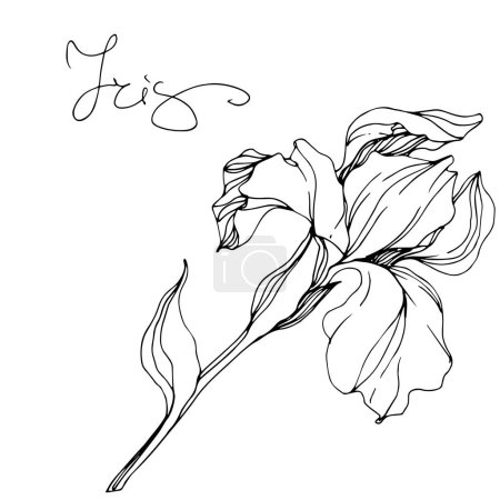 Illustration for Vector monochrome isolated iris flower illustration on white background - Royalty Free Image