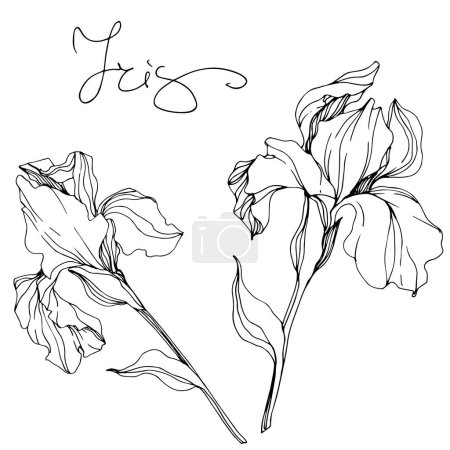 Illustration for Vector monochrome isolated irises illustration on white background - Royalty Free Image