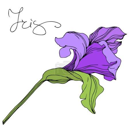 Illustration pour Illustration iris isolé pourpre vectoriel sur fond blanc - image libre de droit