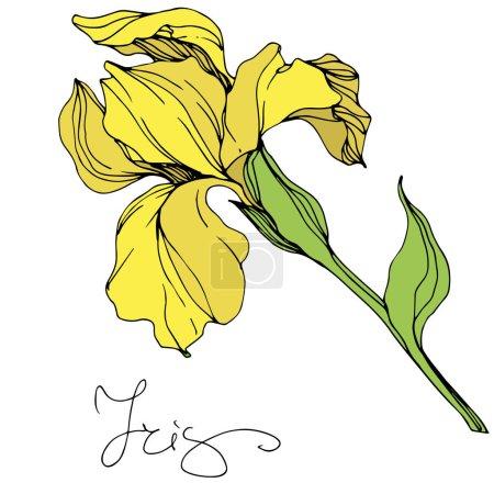 Illustration for Vector yellow isolated iris illustration on white background - Royalty Free Image