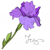 Vector purple isolated iris illustration on white background