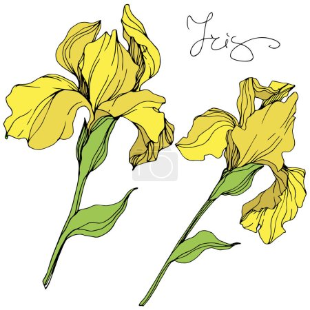 Illustration for Vector yellow isolated irises illustration on white background - Royalty Free Image