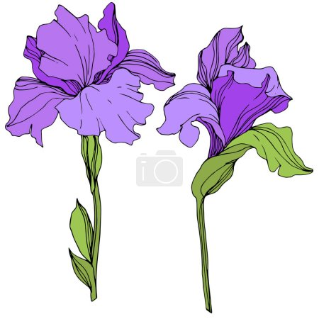 Illustration for Vector purple isolated irises illustration on white background - Royalty Free Image