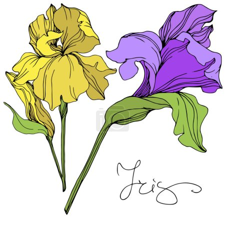 Illustration for Vector yellow and purple isolated irises illustration on white background - Royalty Free Image