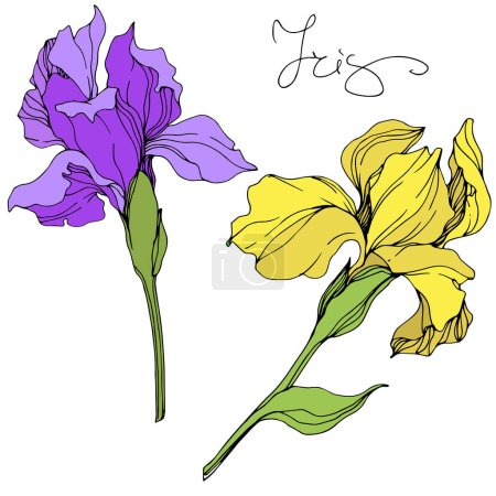 Vector yellow and purple isolated irises illustration on white background