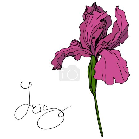 Illustration for Vector Maroon Iris floral botanical flower. Wild spring leaf wildflower isolated. Engraved ink art. Isolated iris illustration element. - Royalty Free Image