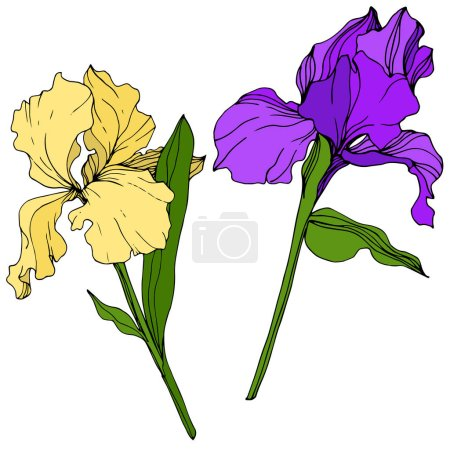 Illustration for Vector Yellow and purple Iris floral botanical flower. Wild spring leaf wildflower isolated. Engraved ink art. Isolated iris illustration element. - Royalty Free Image