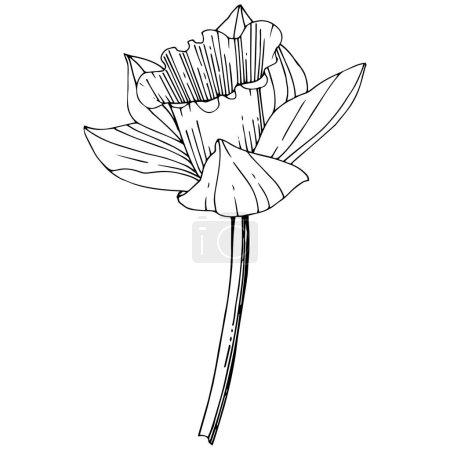 Wektor Narcyz botaniczny kwiat kwiatowy. Wiosna dzikiego wildflower liść na białym tle. Czarno-białe grawerowane sztuki atramentu. Na białym tle Narcyz element ilustracja na białym tle.