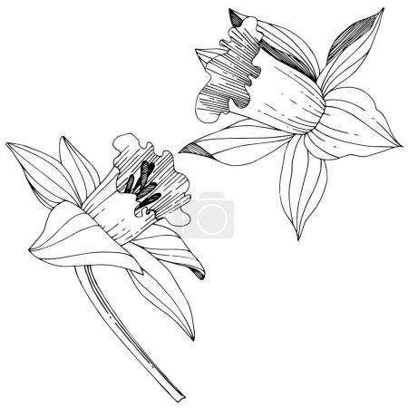 Illustration pour Vector floral botanique fleur du Narcisse. Wildflower de feuille de printemps sauvage isolé. Noir et blanc gravé art d'encre. Élément d'illustration Narcisse isolé sur fond blanc. - image libre de droit