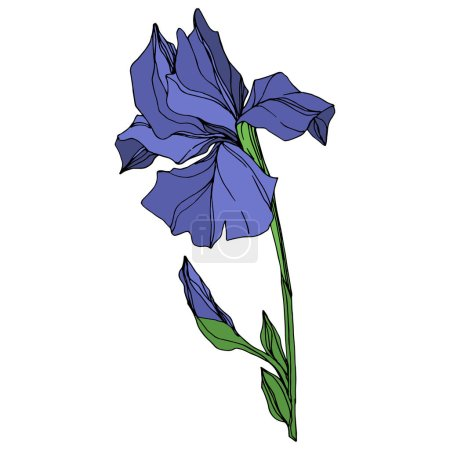 Illustration for Vector Blue iris floral botanical flower. Wild spring leaf wildflower isolated. Blue and green engraved ink art. Isolated iris illustration element on white background. - Royalty Free Image