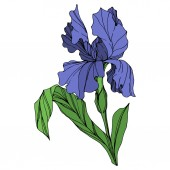 Vector Blue iris floral botanical flower Wild spring leaf wildflower isolated Blue and green engraved ink art Isolated iris illustration element on white background