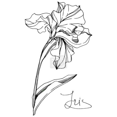 Illustration for Vector Iris floral botanical flower. Wild spring leaf wildflower isolated. Black and white engraved ink art. Isolated iris illustration element on white background. - Royalty Free Image