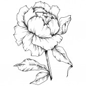 Vector Peony floral botanical flower Wild spring leaf wildflower isolated Black and white engraved ink art Isolated peony illustration element