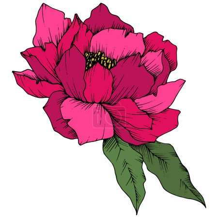 Illustration for Vector Pink Peony floral botanical flower. Wild spring leaf wildflower isolated. Engraved ink art. Isolated peony illustration element on white background. - Royalty Free Image