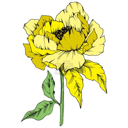 Illustration for Vector Yellow Peony floral botanical flower. Wild spring leaf wildflower isolated. Engraved ink art. Isolated peony illustration element on white background. - Royalty Free Image