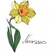 Vector Yellow Narcissus floral botanical flower Wild spring leaf wildflower isolated Engraved ink art Isolated narcissus illustration element on white background