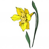 Vector Yellow Narcissus floral botanical flower. Wild spring leaf wildflower isolated. Engraved ink art. Isolated narcissus illustration element on white background.