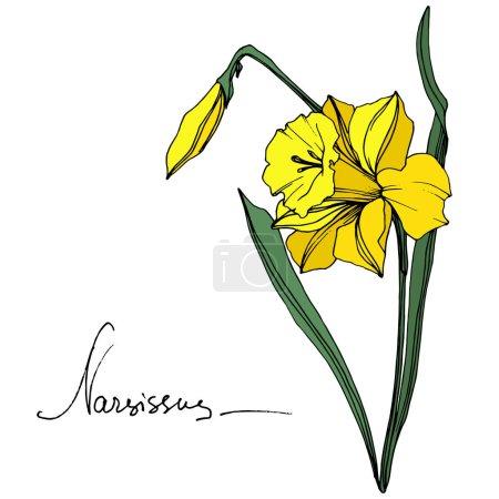 Illustration pour Vector Fleur botanique florale Narcisse jaune. Feuille sauvage de printemps fleur sauvage isolée. Encre gravée. Élément d'illustration narcissique isolé sur fond blanc . - image libre de droit