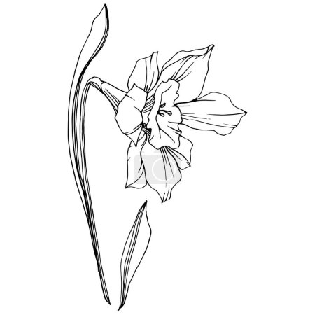 Illustration for Vector Narcissus floral botanical flower. Wild spring leaf wildflower isolated. Black and white engraved ink art. Isolated narcissus illustration element. - Royalty Free Image