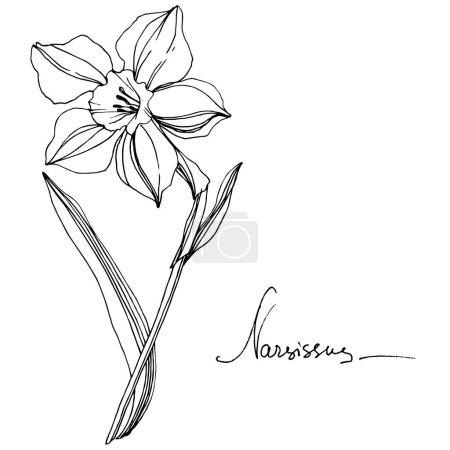 Illustration pour Vector floral botanique fleur du Narcisse. Wildflower de feuille de printemps sauvage isolé. Noir et blanc gravé art d'encre. Élément d'illustration isolé Narcisse. - image libre de droit