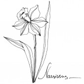Vector Narcissus floral botanical flower. Wild spring leaf wildflower isolated. Black and white engraved ink art. Isolated narcissus illustration element.